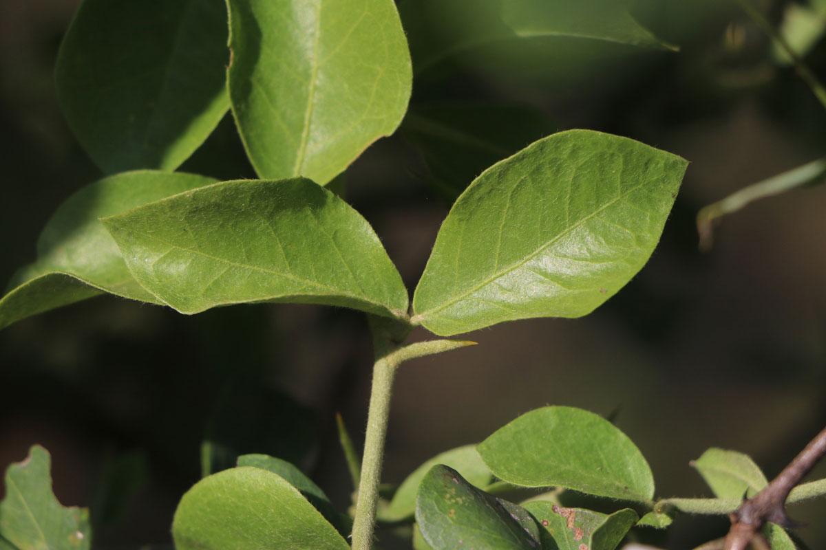 Leaves-of-Desert-Date