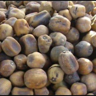 Mature-fruits-of-Desert-Date