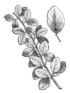 Sketch-of-Desert-Date