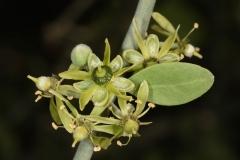 Flowers-of-Desert-Date