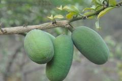 Immature-Fruits-of-Desert-Date