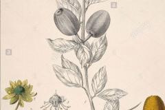 Plant-Illustration-of-Desert-Date