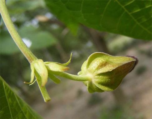 Devil's-cotton-bud