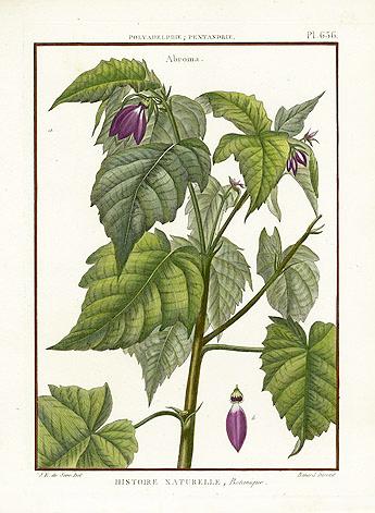 Devil's-cotton-illustration