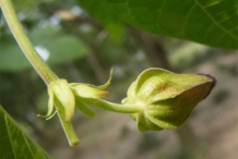 Devil's-cotton-bud