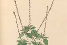 Plant-Illustration-of-Devil's-Horsewhip