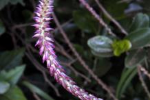 Flower-of-Devil's-Horsewhip