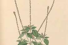 Plant-Illustration-of-Devil's-Horsewhip