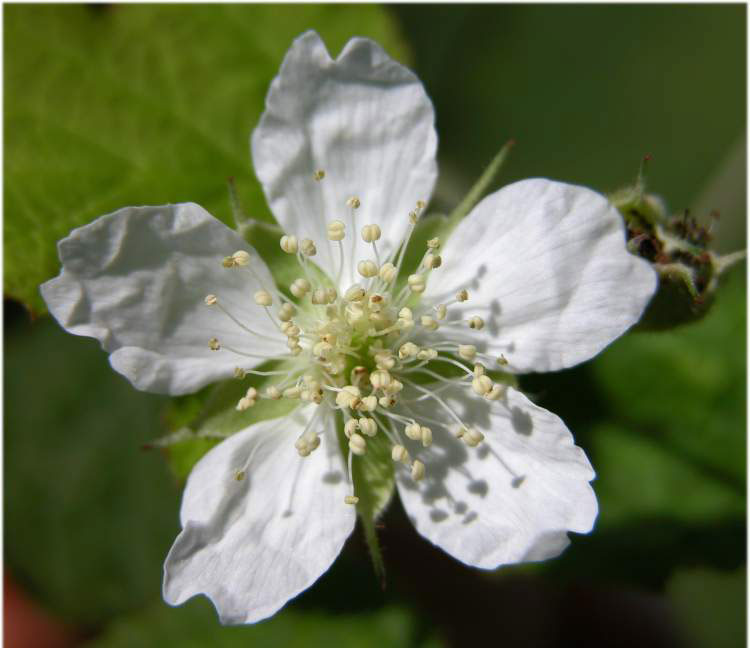 Closer-view-of-flower-of-Dewberry