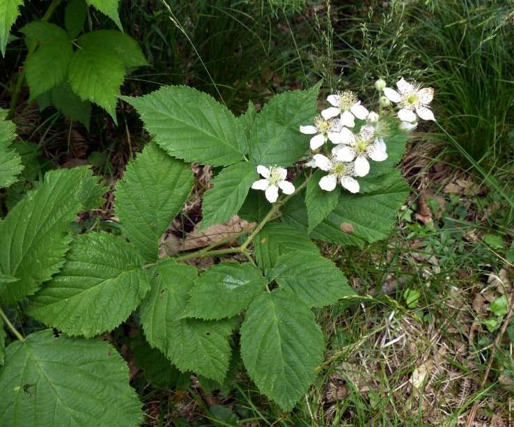 Dewberry-plant-growing-wild