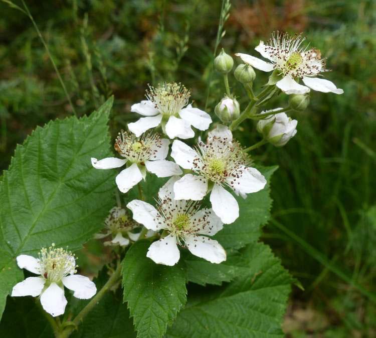 Flower-of-Dewberry