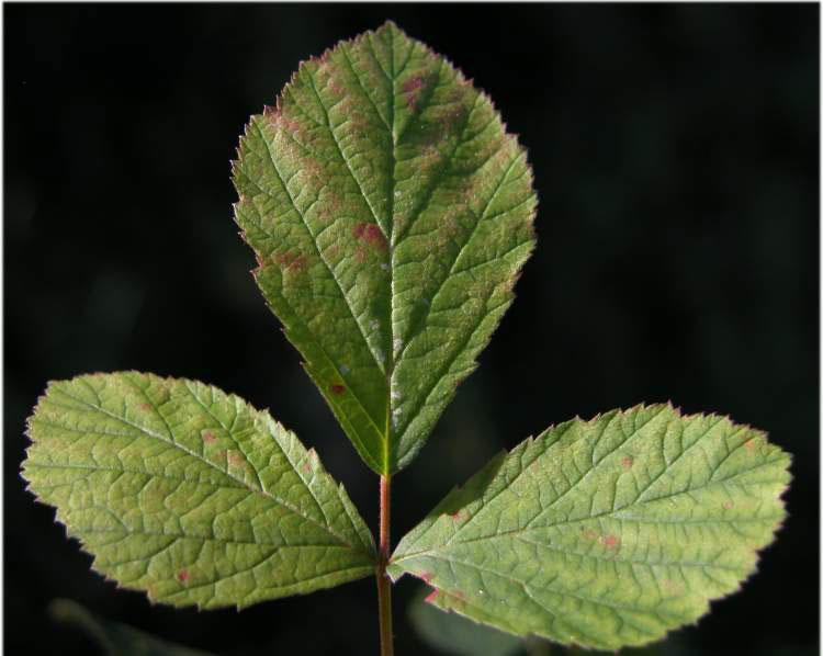Leaves-of-Dewberry