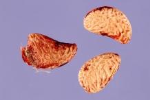 Dewberry-Seeds
