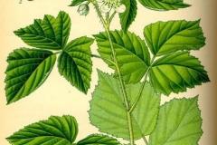 Plant-Illustration-of-Dewberry