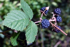 Ripe-Dewberry-fruits-on-the-plant
