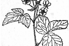 Sketch-of-Dewberry