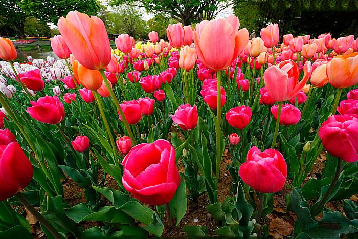 Didiers-tulip-farming