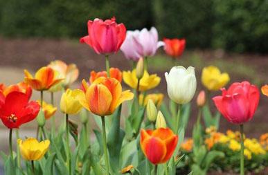 Different-varieties-of-Didiers-tulip