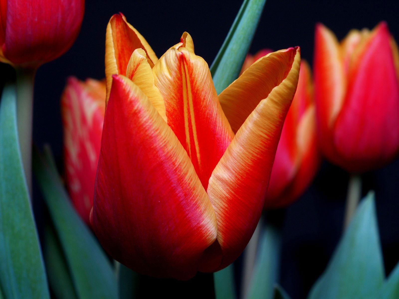 Flower-of-Didiers-tulip