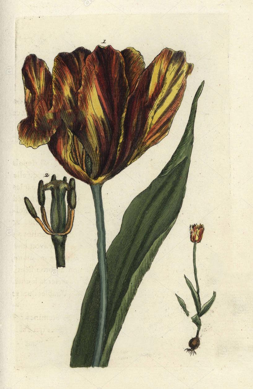 Plant-Illustration-of-Didiers-tulip