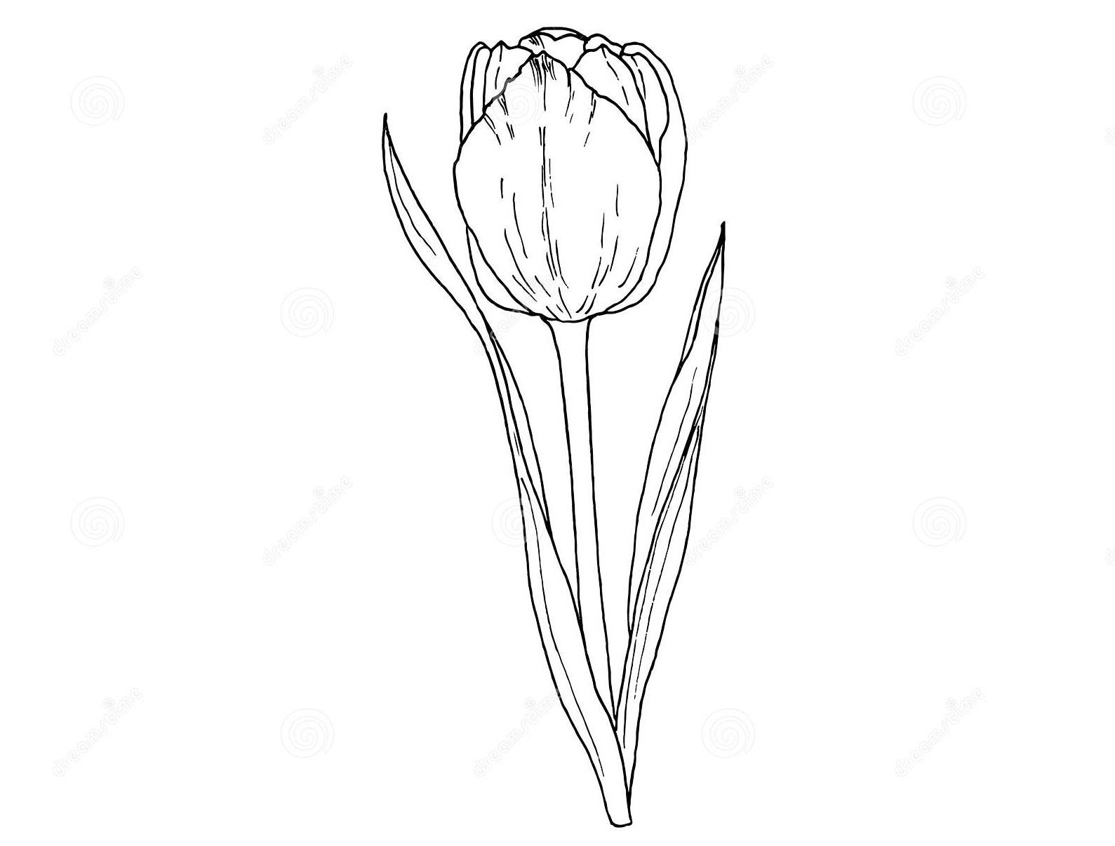 Sketch-of-Didiers-tulip