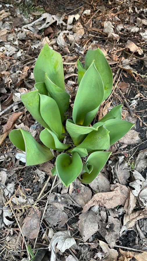 Small-Didiers-tulip-plant