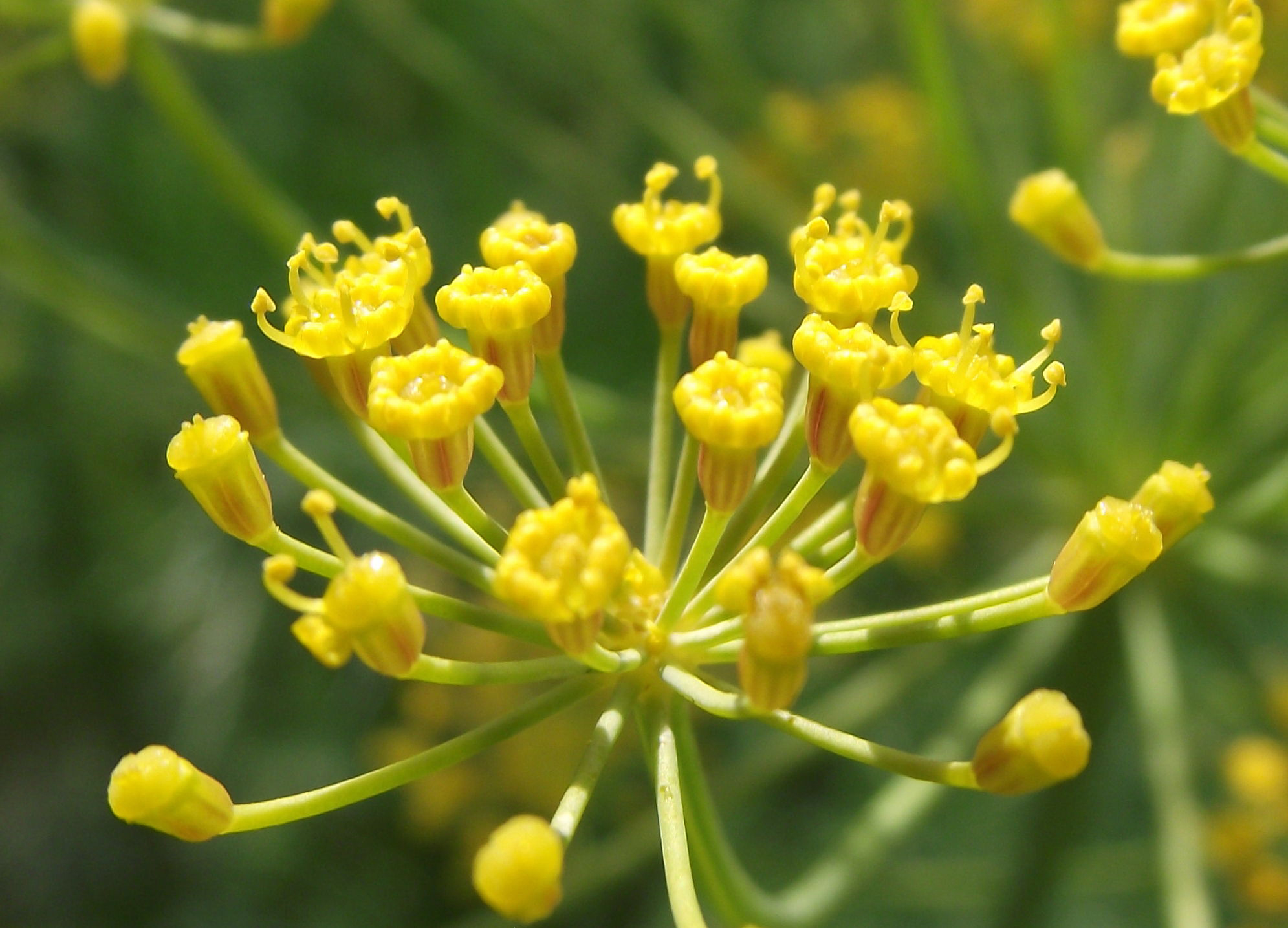 Close-up-flower-of-Dill