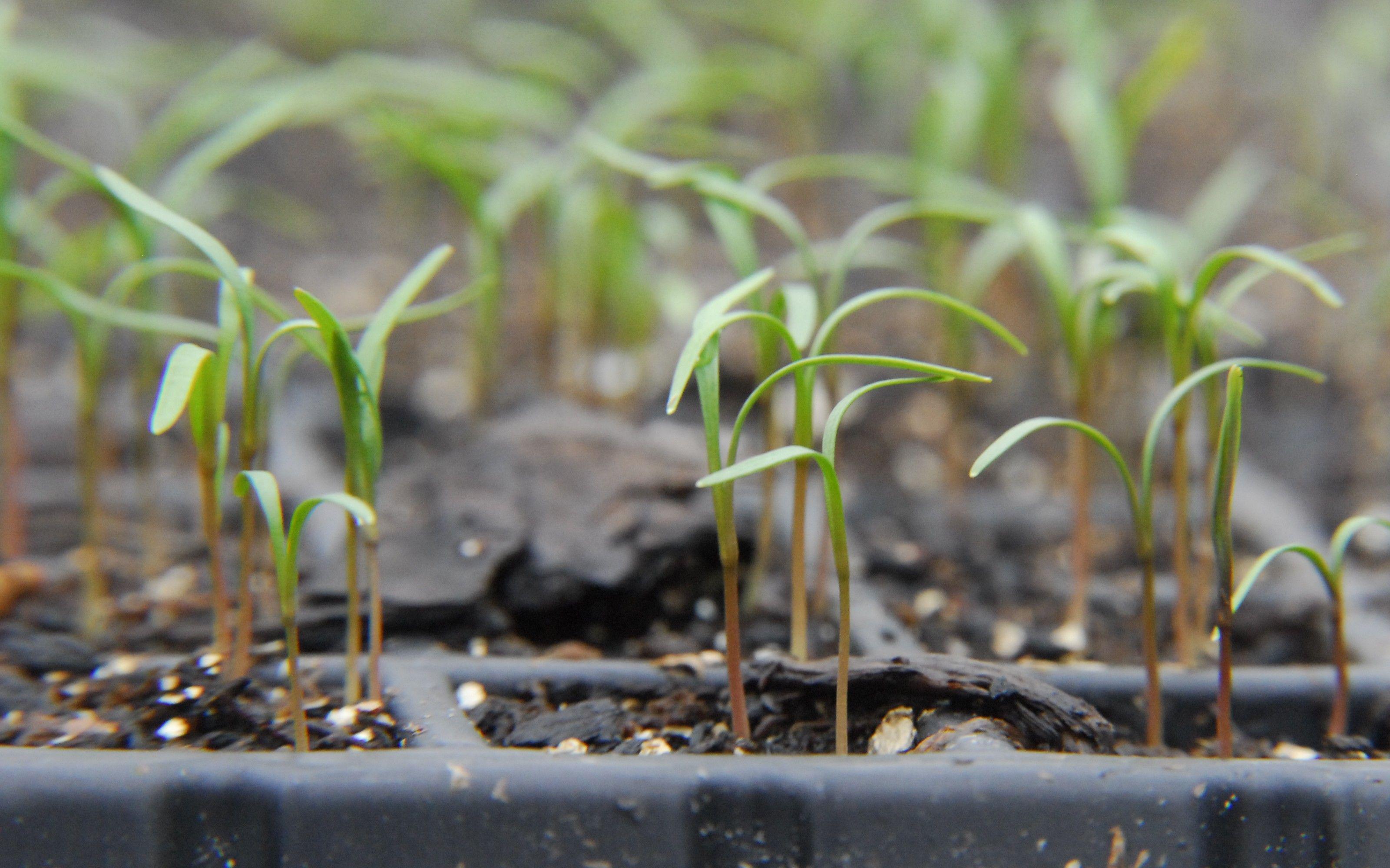 Dill-seedlings