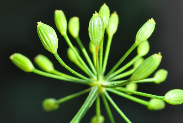 Flower-bud-of-Dill