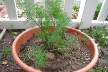 Dill-plant