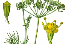 Illustration-of-Dill-plant