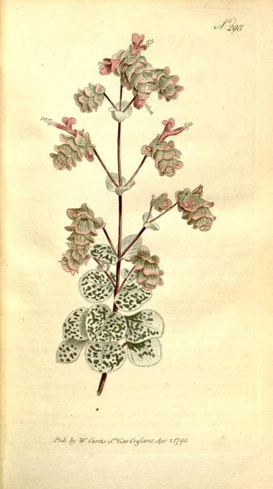 Plant-illustration-of-Dittany-of-Crete