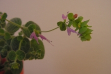 Dittany-of-Crete-flower