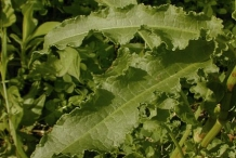 Leaves-of-Dock-vegetable