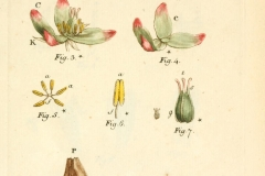 Illustration-of-Dock-vegetable