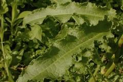 Leaves-of-Dock-vegetable