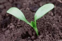 Seedlings-of-Dock-vegetable