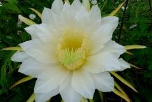 Flower-of-Dragon-fruit