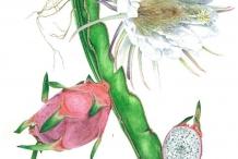 Illustration-of-Dragon-fruit