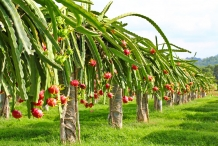 Dragon-fruit-farm