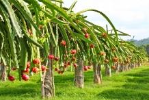 Dragon-fruit-farm