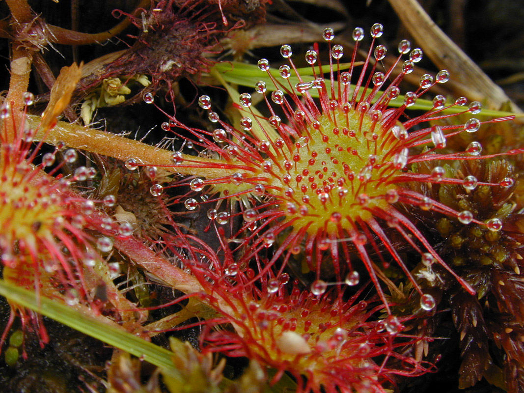 Drosera-leaves