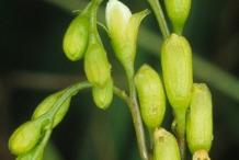 Flower-bud-of-Drosera