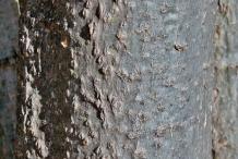 Drumstick-stem