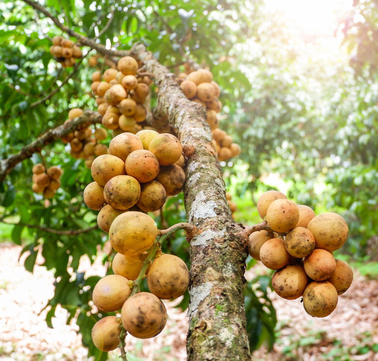 Duku-Fruit-tree