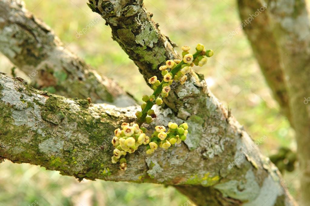 Flowers-of-Duku-Fruit