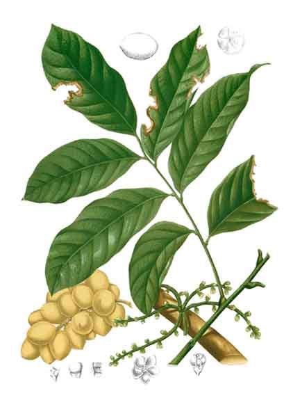 Plant-Illustration-of-Duku-Fruit