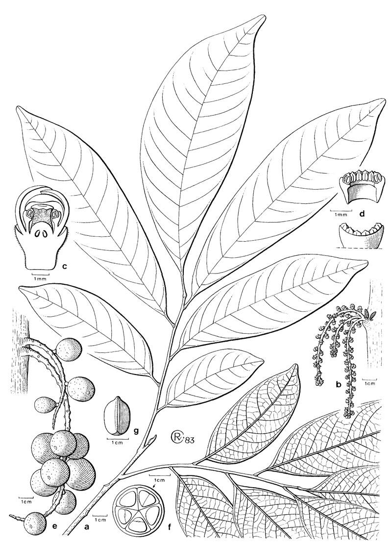 Sketch-of-Duku-Fruit