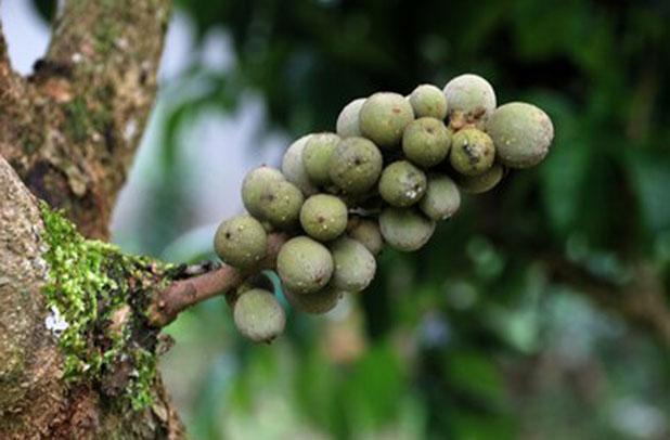 Unripe-Duku-Fruit-on-the-tree