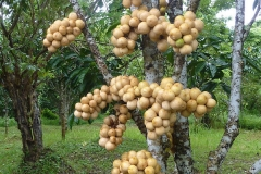 Duku-Fruits-on-the-tree